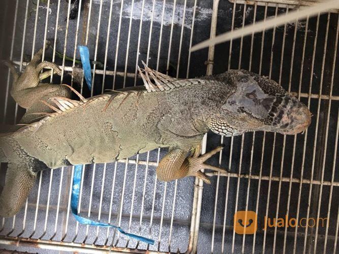 Iguana Green Columbia (27809043) di Kota Cilegon