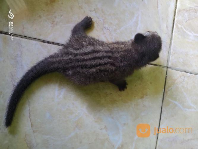 Baby Musang Pandan Ekput Dagput Kab Bojonegoro Jualo