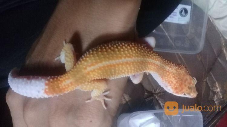 Leopard Gecko Super Gembul (28417563) di Kota Jakarta Barat