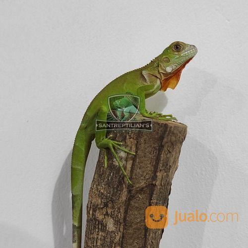 Baby Iguana RedMix (29292050) di Kab. Bantul