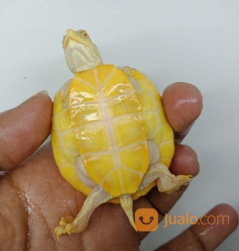 Kura Kura Res Albino Size 5cm (29452861) di Kab. Mojokerto