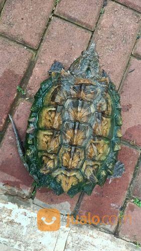 Kura Kura Aligator Snaping Turtle (29452888) di Kab. Mojokerto
