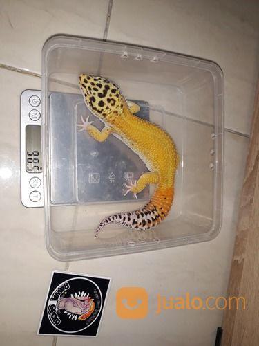 Leopard Gecko Super Giant (29592211) di Kota Jakarta Barat