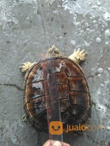 Kura Kura Cst Jantan Turtle Karapas 17 Cm Sehat (29599856) di Kab. Tangerang
