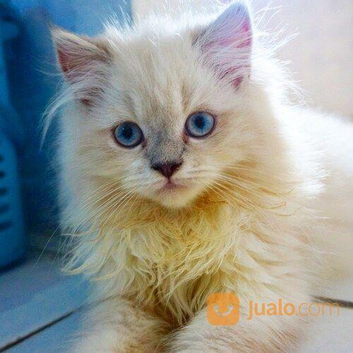 Anak Kucing Himalaya Tangerang Jualo