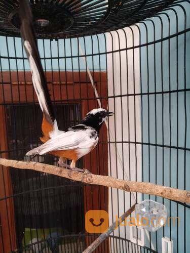Janta Murai Blorok Bintik Bintik (30206505) di Kab. Tabanan