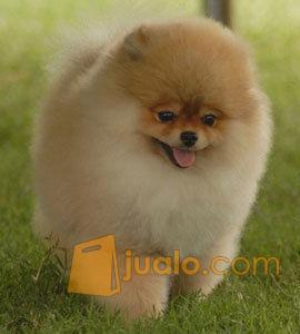 Anakan Anjing Mini Pom Pontianak Jualo