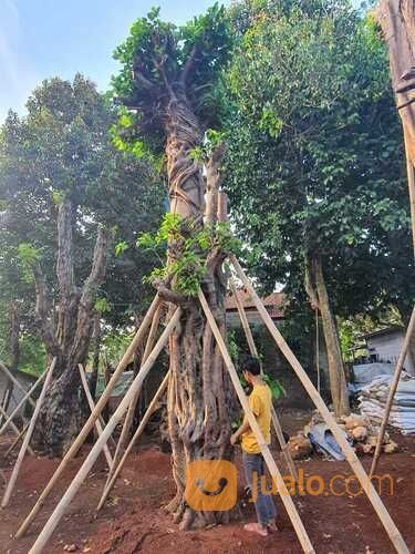 BODHI TREE BIG SIZE BANYAK PILIHAN FREE JABODETABEK (30931667) di Kab. Bogor