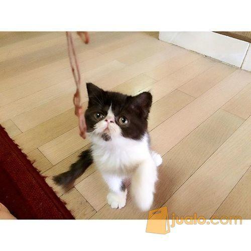 Kucing Exotic Shorthair Bekasi Jualo