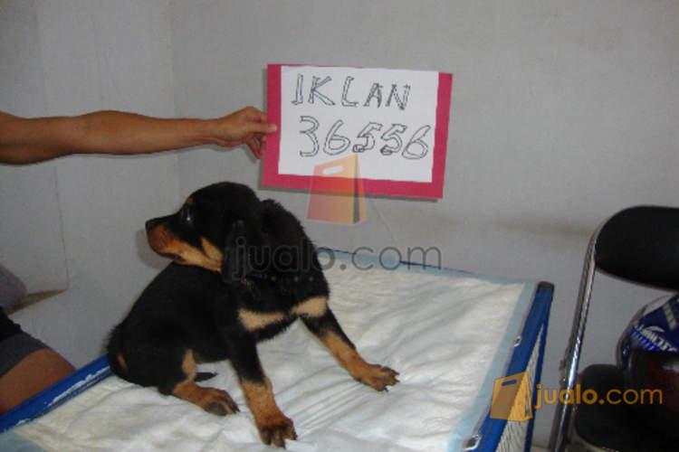 Aa Jual Anjing Rottweiler Puppies Betina Umur 2 Bulan Jakarta Barat Jakarta Jualo