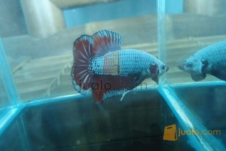 Cupang Giant Red Dragon Batu Jualo