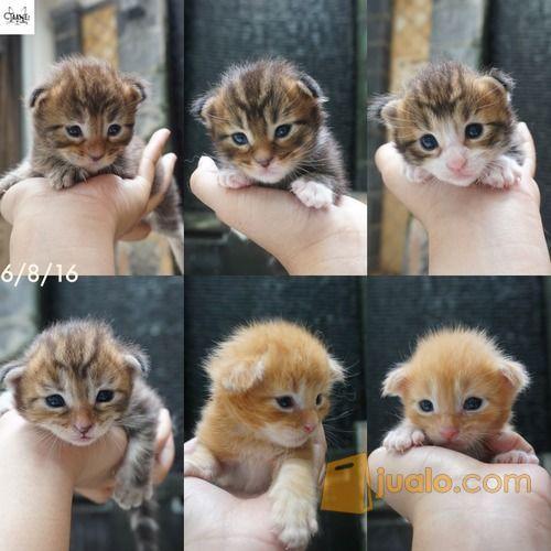 Kucing Mainecoon Maine Coon Taanez Cattery Bekasi Kab Bekasi Jualo