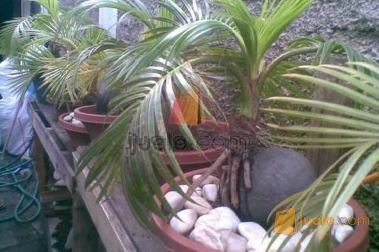 Dijual Bonsai Kelapa Unik Jakarta Jualo