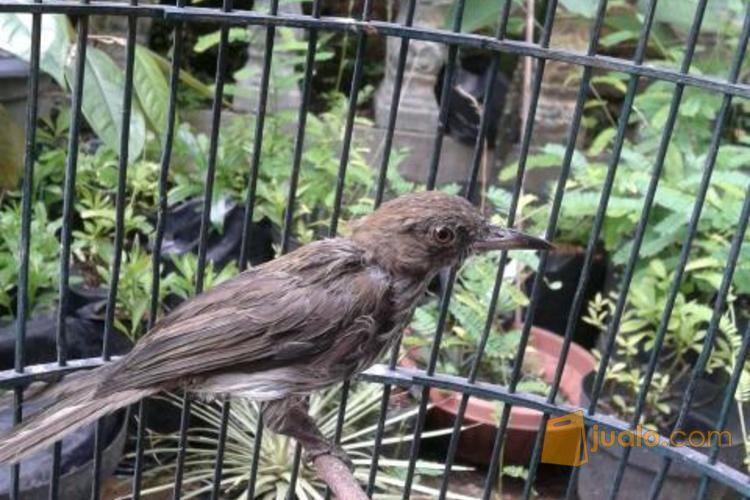 Burung Siri Siri Muda Hutan Bekasi Jualo