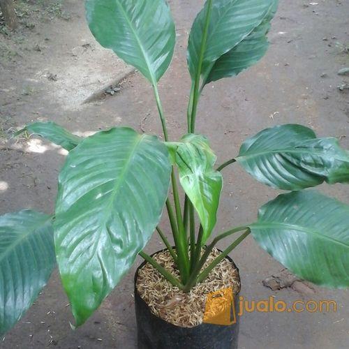 Tanaman Hias Spathiphyllum Hijau Depok Jualo