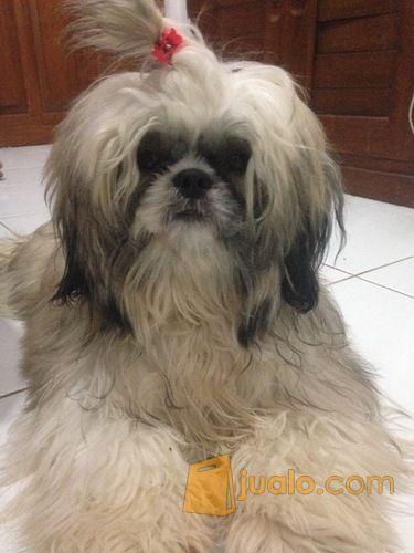 Jual Anjing Shih Tzu Semarang Jualo