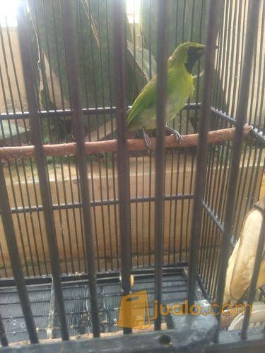 Burung Cucak Ijo Mini Burja Kab Tangerang Jualo