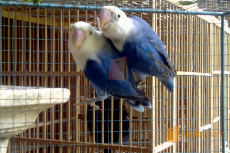 Lovebird Dakocan Biru Gunungkidul Jualo