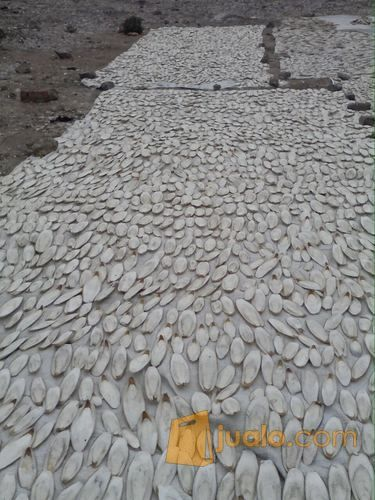 Asinan Tulang Sotong Kalsium Dan Utk Gacorkan Burung Medan Jualo