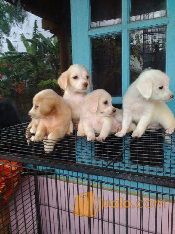 Anak Anjing Golden Mix Labrador Kab Bogor Jualo