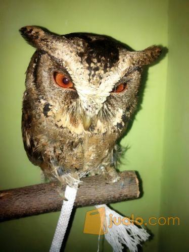 Burung Hantu Jinak Celepuk Javan Scops Owl Semarang Jualo
