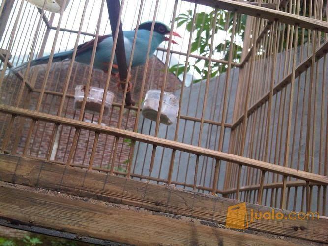 Burung Ekek Keling Sudah Gacor Kab Banjarnegara Jualo