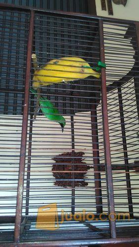 Burung Cucak Hijau Banyuwangi Gacor Jakarta Timur Jualo