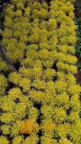 Jual Pohon Brokoli Kuning Jual Aneka Macam Tanaman Hias Depok Jualo