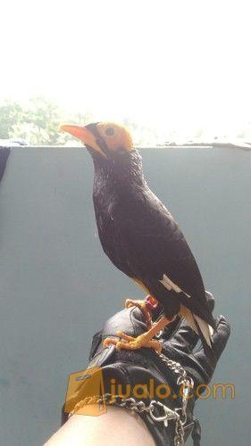 Burung Beo Papua Jakarta Timur Jualo
