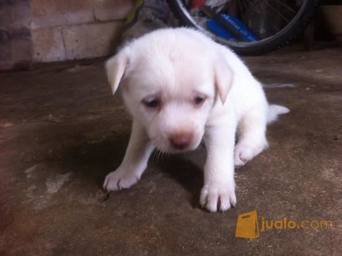 44++ Anjing warna putih terupdate