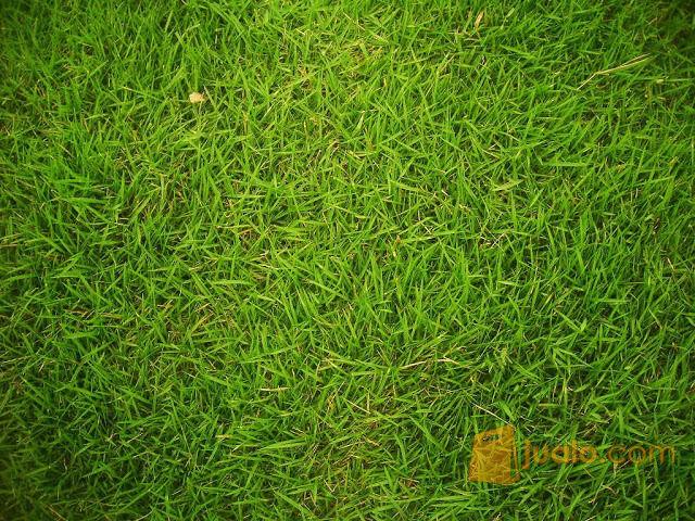 Rumput Jepang Untuk Taman (8801899) di Kab. Bogor