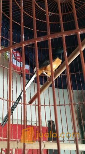 Murai Batu Medan Ekor Panjang 30 Cm Jakarta Barat Jualo