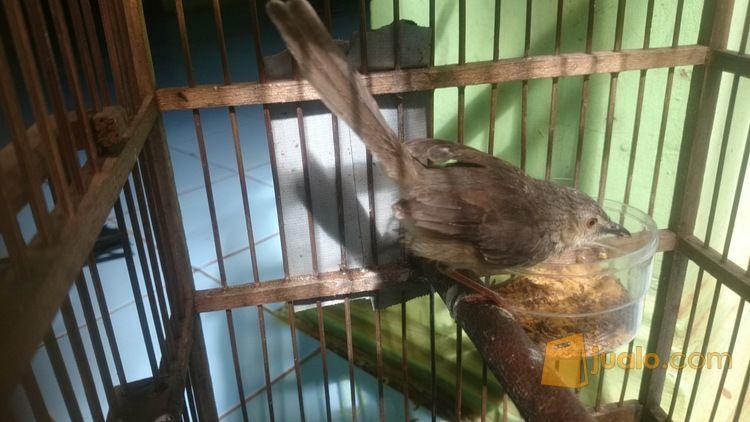 Burung Kemade Dan Lainya Gunung Putri Jualo