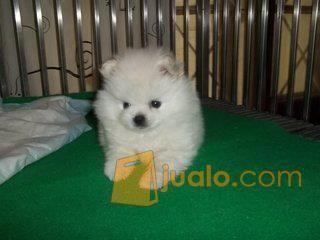 Anjing Mini Pom Kab Klungkung Jualo
