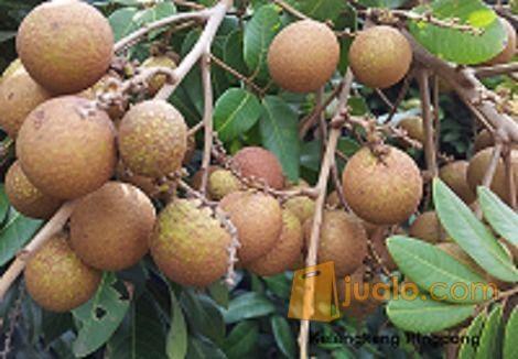 Bibit Kelengkeng pinpong Unik, Buah Segera Bola Pingpong (9277709) di Kab. Purworejo