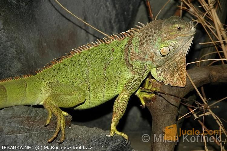 Hewan Reptil Iguana Sangat Jinak Dan Makan Rakus Bisa Di Ajak Main (9877683) di Kab. Merangin