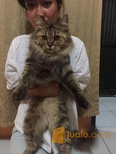 Kucing Maine Coon Betina Jakarta Selatan Jualo