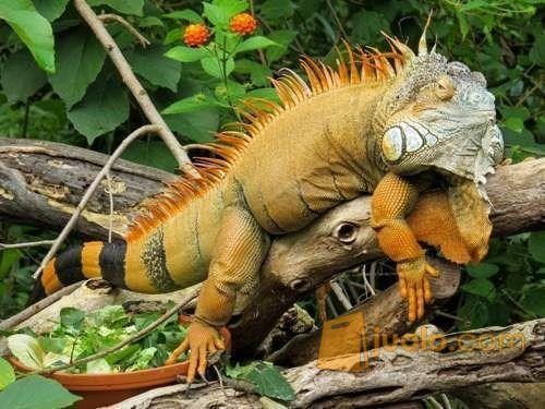 Hewan Reptil Iguana Sangat Jinak Dan Makan Rakus (9898463) di Kab. Tanjung Jabung Barat