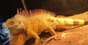 Hewan Reptil Iguana Sangat Jinak Dan Makan Rakus (9898465) di Kab. Tanjung Jabung Barat