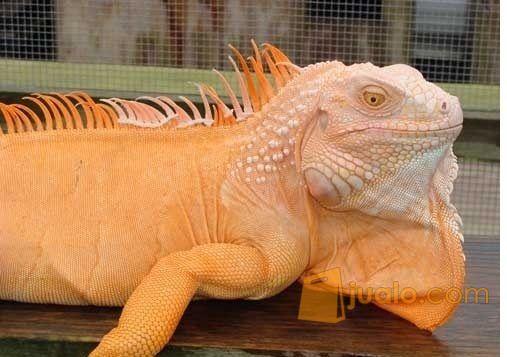 Hewan Reptil Iguana Sangat Jinak Dan Makan Rakus (9898467) di Kab. Tanjung Jabung Barat