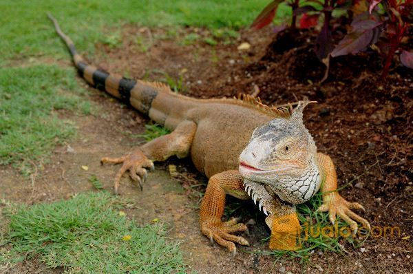 Hewan Reptil Iguana Sangat Jinak Dan Makan Rakus (9898469) di Kab. Tanjung Jabung Barat
