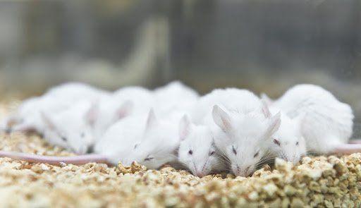 Camundongos com dieta rica em frutose são mais propensos a engordar. (Fonte: unoL/Shutterstock)
