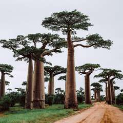 Avenue Baobabs