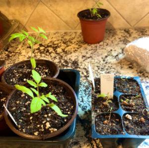 Tomato Sprouts compared