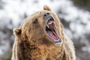 Grizzly bear tested