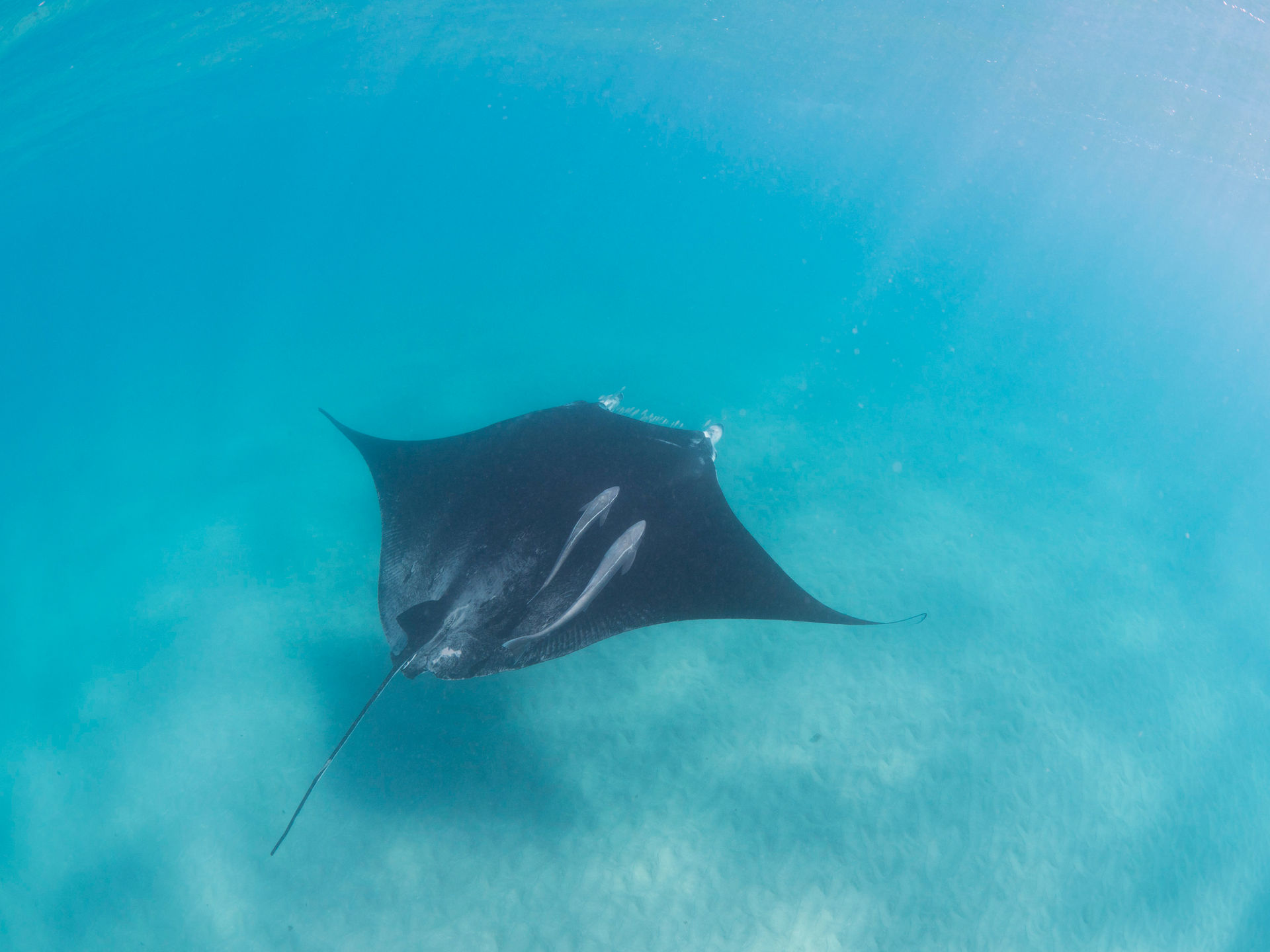 Mantarochen in der Coral Bay