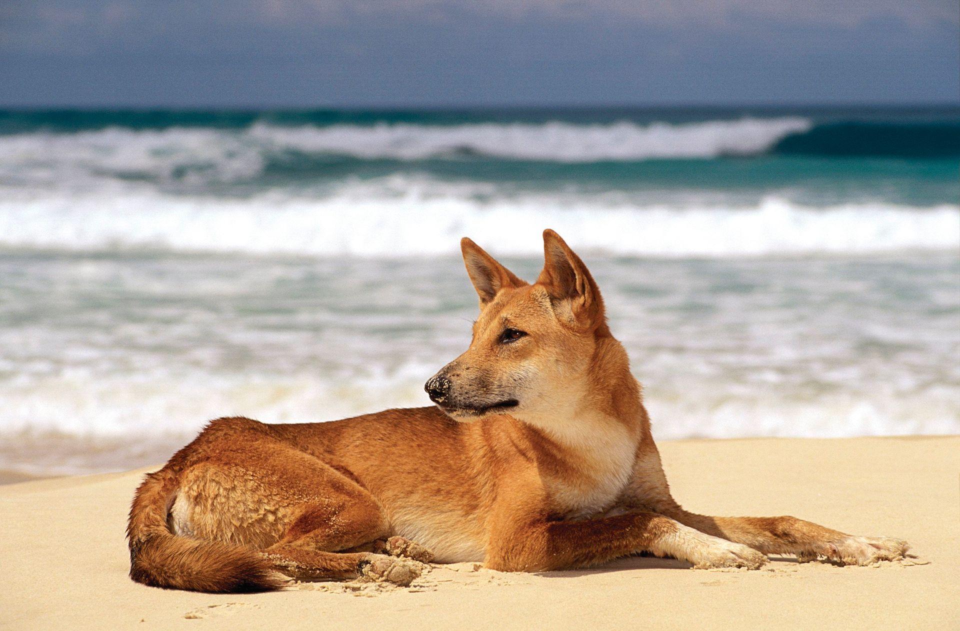 Fraser Island Dingo op het strand aan de Oostkust van Australië.