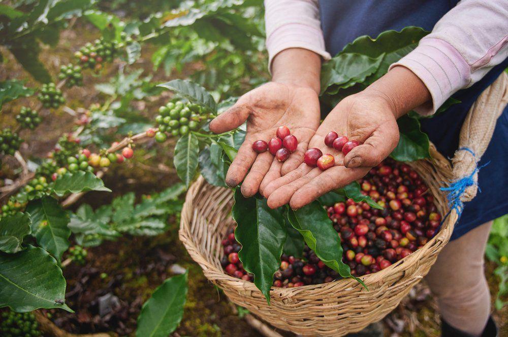 Produção de café é retomada com volta das chuvas.