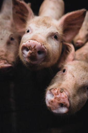 Preço da carne de porco deve subir para o consumidor. (Fonte: Kenneth Schipper Vera/Unplash/Reprodução)