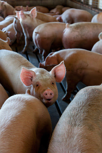 Diminuição do consumo e aumento do custo de produção impactam preço da carne de porco. (Fonte: Mark Stebnicki/Unsplash/Reprodução)